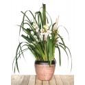 Orquídea Cymbidium Especial