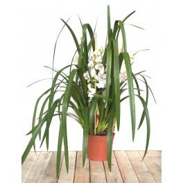 Orquídea Cymbidium Especial San Valentín