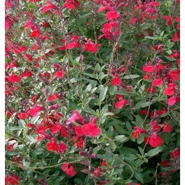 Salvia microphylla (maceta 16 cm ø)