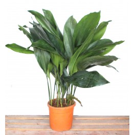 Aspidistra (maceta 20 cm de Ø) - Planta de la semana