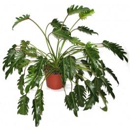 Philodendron Xanadu (maceta 22 cm Ø)