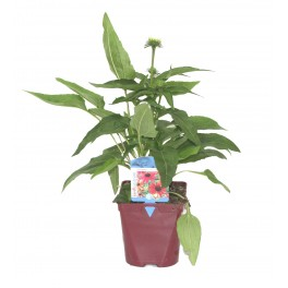 Echinacea 'summer colors' (maceta 14 cm Ø)