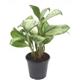 Aglaonema modestum (maceta 14 cm Ø)