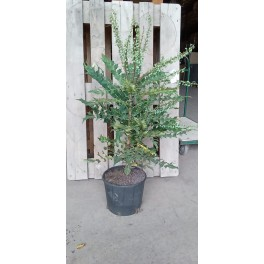 Mahonia (maceta 23 cm Ø)
