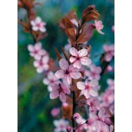 Prunus Pisardi (maceta 24 cm ø)