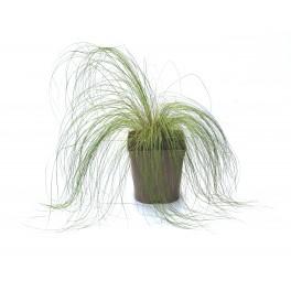 Stipa tenuissima (maceta 12 cm Ø)