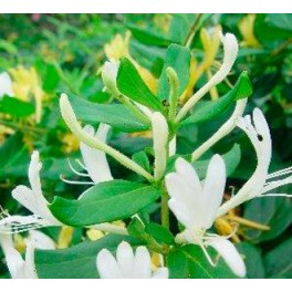 Madreselva maceta 19 cm germigarden germinova s a - Madreselva en maceta ...