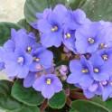 Violeta africana o saintpaulia (maceta 12 cm ø)