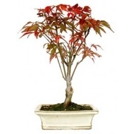 Bonsái Acer (Acer palmatum)