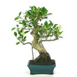 Bonsai Ficus (Ficus Retusa)