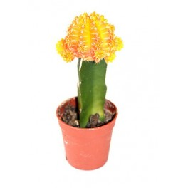 Cactus (maceta 5,5 cm ø) injertado variado