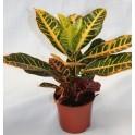 Croton (maceta 13 cm Ø)