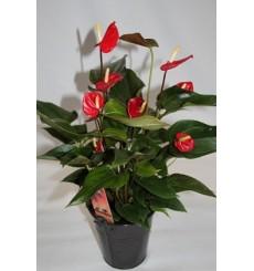 Plantas de interior con flor germigarden - Plantas de interior comprar ...