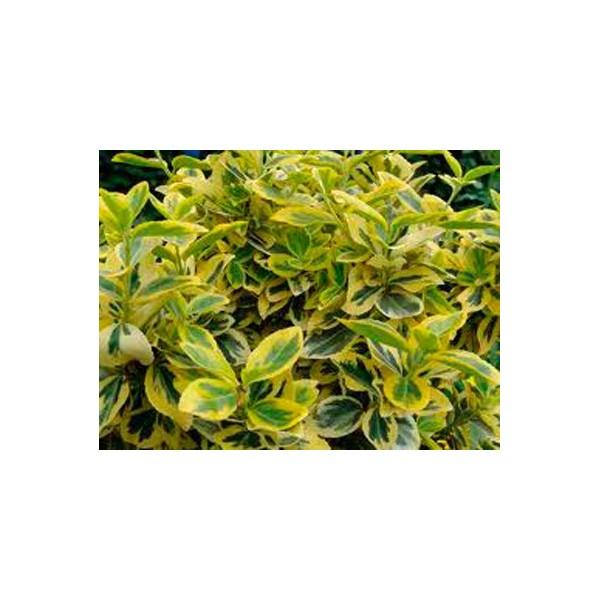 Euonimus hoja amarilla con verde por dentro germigarden - Lista nombre arbustos ...