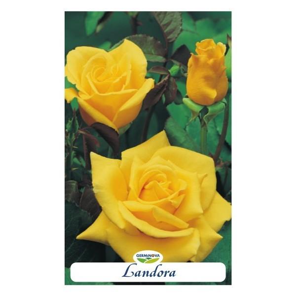 Rosales grandiflora en maceta por 6 45 en germigarden - Rosales en macetas ...