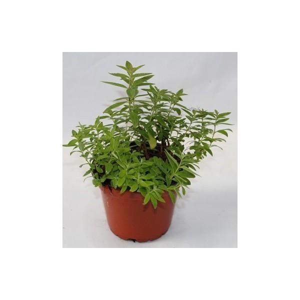 Hierba luisa en planta - Hierba luisa en maceta ...