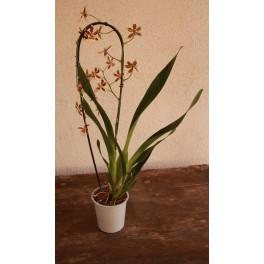 Orquídea Cambria (1 vara de flores)
