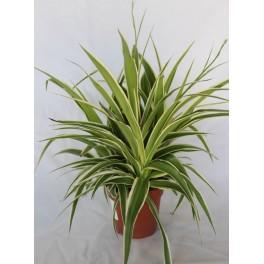 chlorophytum comosum 39 ocean 39 maceta 12 cm germigarden germinova s a. Black Bedroom Furniture Sets. Home Design Ideas