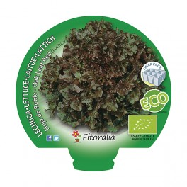Plantel lechuga hoja de roble ecológico (12 unidades)