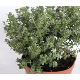 Westringia Grey Box (maceta 19 cm ø)