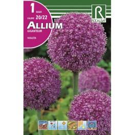 Bulbo de allium giganteum
