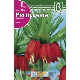 Bulbo de frittillaria imperialis