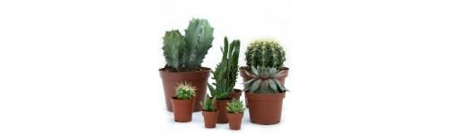 Cactus y planta crasa