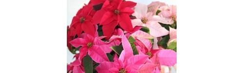 Ponsetia y otra planta de Navidad