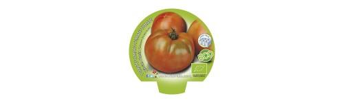 Plantel tomate